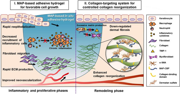 Schematic representation of proposed mechanisms for enhanced in vivo scarless skin regeneration where a natural healing-inspired MAP-based collagen-targeting surgical glue was used. At an early stage, the tightly-sealed adhesive hydrogel can accelerate initial wound healing without provoking chronic inflammation by providing highly compatible environments for reepithelialization, neovascularization, and rapid collagen synthesis. Then, the collagen-targeting glue system can contribute to the prevention of scar formation by controlling collagen fibril growth, tissue-specific reassembly, and by down-regulating the expression of fibrogenic factors during the remodeling phase.