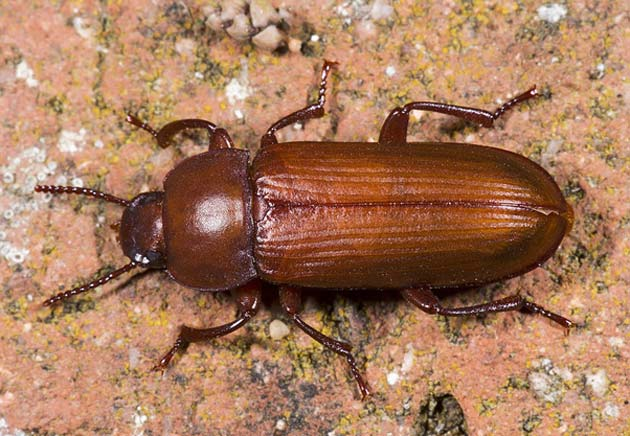 The mealworm beetle uses AFPs to avoid freezing. (Source: Wikimedia Commons)