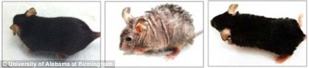 A healthy mouse (left) was induced with a mutation that caused mitochondrial depletion resulting in wrinkles and hair loss (center). A few months later, the mtDNA (mitochondrial DNA) was reversed and the signs of aging were seen to be reduced too (right). (Source: University of Alabama)