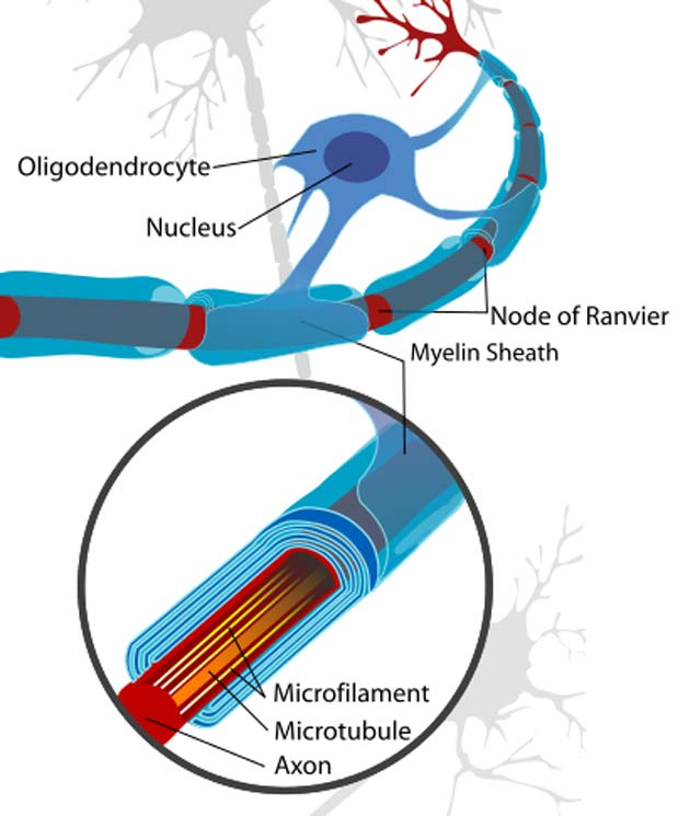 A neuron cell diagram, cropped to show oligodendrocyte and myelin sheath.