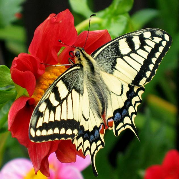 Observations of fluctuating butterfly numbers in specific regions (e.g., England) have led to conservation measures to protect them there. (Source: Wikimedia Commons)