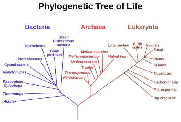 A phylogenetic tree of living things, based on RNA data and proposed by Carl Woese, showing the separation of bacteria, archaea, and eukaryotes. Trees constructed with other genes are generally similar, although they may place some early-branching groups very differently, thanks to long branch attraction