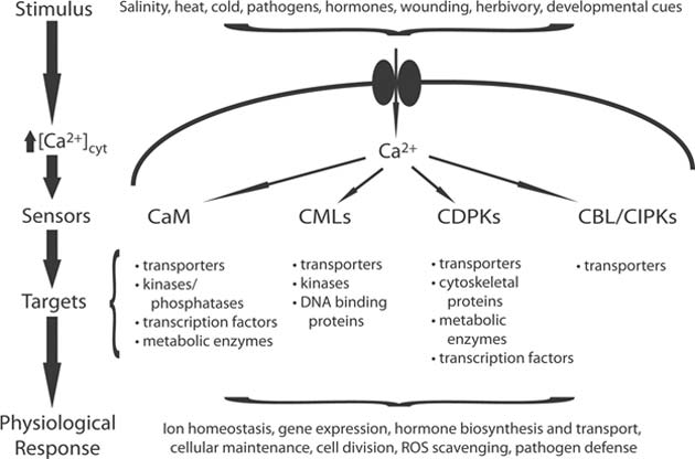 The Ca2+ signaling paradigm. (Source: Thomas et al, 2009)