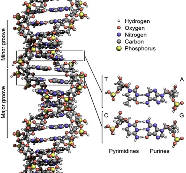 The structure of the DNA double helix. By Zephyris - Own work