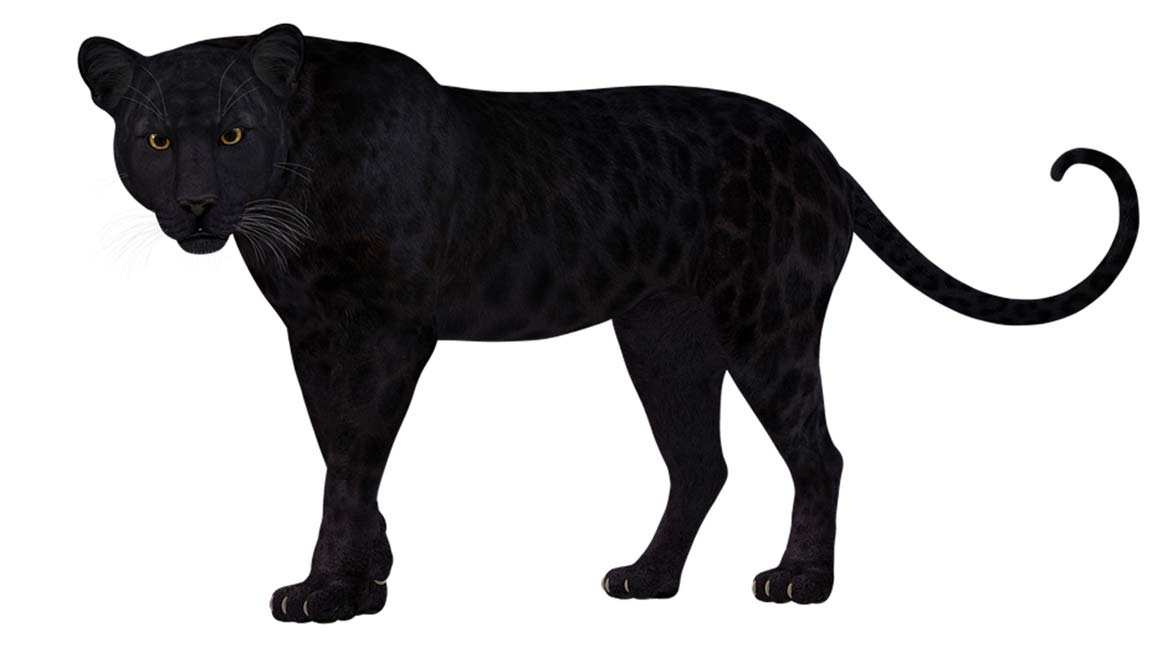 Super-Rare Black Leopard Sighting Confirmed In Kenya After Almost A Century