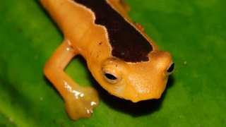 Golden Salamander Rediscovered After 42 Years