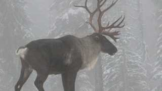 Another Species – The Mountain Caribou – Is Almost Extinct