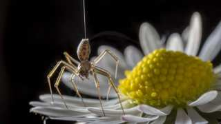 Ballooning In Spiders: Scientists Prove That Arachnid 'Flight' Is Wind-Independent
