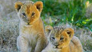 World's First 'Test Tube' Lion Cubs Born In South Africa