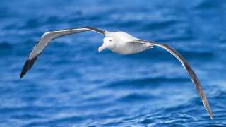 The Flight of the Albatross: Secrets of Wind-powered Flight Revealed