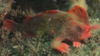 The Red Handfish: Population of World's Rarest Fish Increases After New Discovery