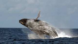 A humpback whale breaching off the coast of Gabon. | T. Collins/Wildlife Conservation Society