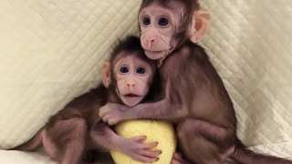 Dolly's Successors? Chinese Researchers Have Cloned Monkeys