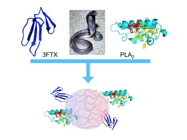 Image showing the binding of the 3FTX and PLA2 molecules in the elapid snake venom toxins to the engineered synthetic polymer nanoparticles. (Source: Shea et al., 2018)