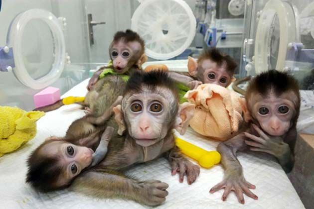 This image published by the Chinese Academy of Sciences Institute of Neuroscience shows five cloned macaques in a research facility in Shanghai. (Source: STR / AFP / Getty Images)