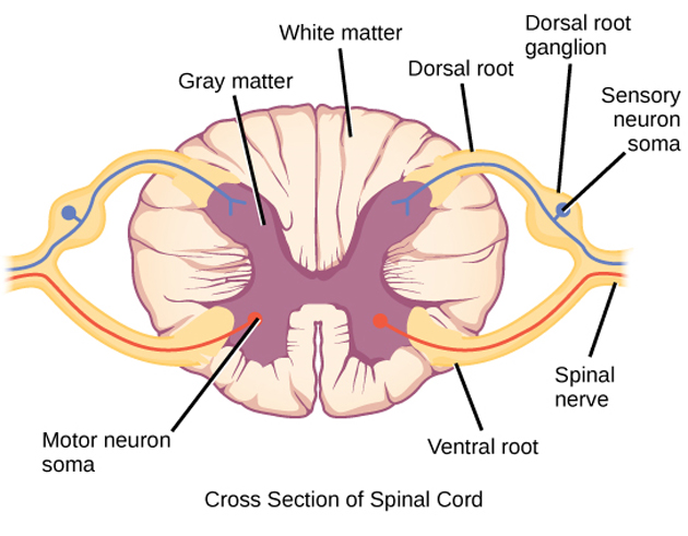 A transverse spinal section showing some functions of various spinal region. (Source: Public Domain)